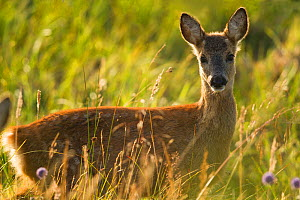 Roe deer (Capreolus capreolus) fawn in meadow, Scotland, UK., August - SCOTLAND: The Big Picture