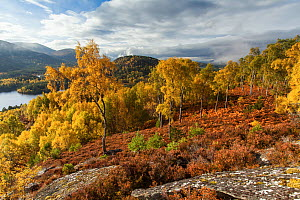 Birch woodland (Betula pendula) in autumn, Rothiemurchus Forest, Cairngorms National Park, Scotland, UK.October - SCOTLAND: The Big Picture