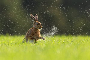 Brown Hare (Lepus europaeus) shaking water from front paws , Scotland, UK.May - SCOTLAND: The Big Picture