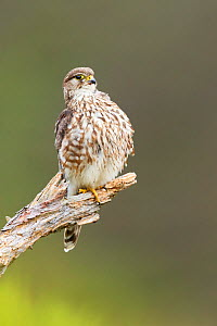 Merlin (Falco columbarius) , adult female perched, on moorland , Scotland, UK.June - SCOTLAND: The Big Picture