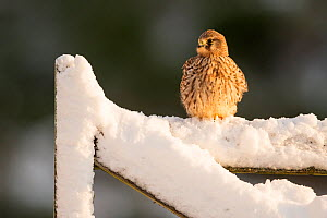 Kestrel (Falco tinnunculus) female perched on farm gate in snow , Scotland, UK.December  -  SCOTLAND: The Big Picture