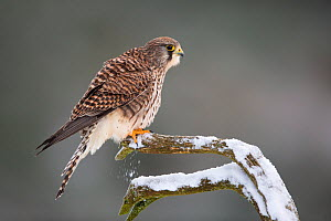 Kestrel (Falco tinnunculus) female perched in snow , Scotland, UK.January - SCOTLAND: The Big Picture