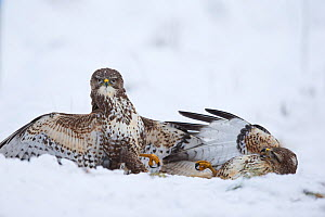 Common Buzzards (Buteo buteo) fighting on ground in snow, Scotland, UK, January.January - SCOTLAND: The Big Picture