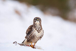 Common Buzzard (Buteo buteo) on ground in snow, Scotland, UK, February. - SCOTLAND: The Big Picture