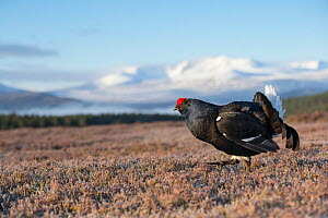 Black Grouse (Tetrao tetrix) male displaying on lek, Cairngorms National Park, Scotland, UK, May. - SCOTLAND: The Big Picture