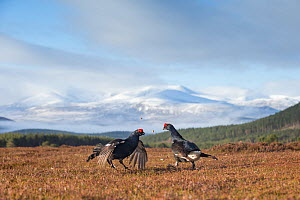 Black Grouse (Tetrao tetrix) two males fighting on lek, Cairngorms National Park, Scotland, UK.May - SCOTLAND: The Big Picture