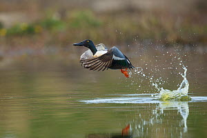 Shoveler (Anas clypeata) drake taking off from water, Caithness, Scotland, UK.May  -  SCOTLAND: The Big Picture