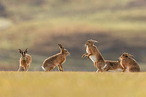 Brown hare, (Lepus europaeus), group of animals in field, Islay, Scotland, UK., March  -  SCOTLAND: The Big Picture