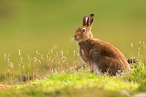 Mountain Hare (Lepus timidus), adult in summer pelage on upland moor, Scotland, UK, June. - SCOTLAND: The Big Picture