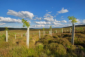 Oak (Quercus robur) saplings in tree guards planted as part of woodland expansion on moorland, Cairngorms National Park, Scotland, UK, July.  -  SCOTLAND: The Big Picture