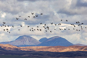 Barnacle goose (Anser brachyrhynchus) flock in flight with Paps of Jura in background, Islay, Scotland, UK, March. - SCOTLAND: The Big Picture