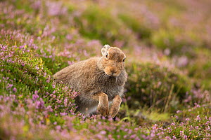 Mountain Hare (Lepus timidus) in summer coat amongst flowering heather, Scotland, UK, Augsut.August - SCOTLAND: The Big Picture