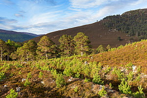 Naturally regenerating pine trees on Mar Lodge Estate, Cairngorms National Park, Scotland, UK.May - SCOTLAND: The Big Picture