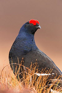Black Grouse (Tetrao tetrix), close-up of male in breeding plumage , Scotland, UK. April. - SCOTLAND: The Big Picture