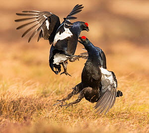 Black Grouse (Tetrao tetrix), two males fighting on lek , Scotland, UK. April. - SCOTLAND: The Big Picture