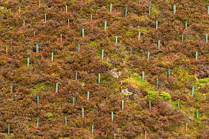 Newly planted trees protected by tree guards on moorland, Cairngorms National Park, Scotland, UK.May - SCOTLAND: The Big Picture