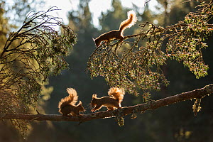 Red squirrel, (Sciurus vulgaris), three animals backlit on pine branch, Cairngorms National Park, Scotland, UK.May  -  SCOTLAND: The Big Picture