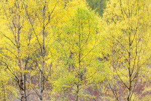 Creative impression of Silver birch (Betula pendula) foliage, Creagellachie NNR, Cairngorms National Park, Scotland, UK.May - SCOTLAND: The Big Picture
