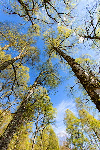 Birch (Betula pendula) woodland in spring, Creagellachie NNR, Cairngorms National Park, Scotland, UK., May  -  SCOTLAND: The Big Picture