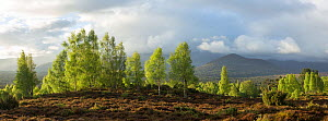 Silver Birches (Betula pendula) in spring, Cairngorms National Park, Scotland, UK, May. - SCOTLAND: The Big Picture