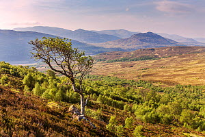 Regenerating birch (Betula pendua) and Rowan (Sorbus aucuparia) trees on Creag Meagaidh NNR, Lochaber, Scotland, UK, May. - SCOTLAND: The Big Picture