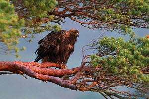Golden Eagle (Aquila chrysaetos) adult female perched in pine tree at dawn, Scotland, UK, June. - SCOTLAND: The Big Picture