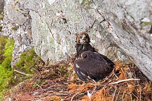 Golden eagle (Aquila chrysaetos) chick with radio transmitter fitted for the purpose of satellite tracking the bird's movements, Cairngorms National Park, Scotland, UK, June. - SCOTLAND: The Big Picture
