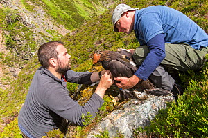 Field workers attaching radio transmitter to young Golden eagle (Aquila chrysaetos) chick for satellite tracking, Cairngorms National Park, Scotland, UK, June. - SCOTLAND: The Big Picture