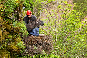 Field worker abseiling to Golden eagle (Aquila chrysaetos) nest to return a recently satellite-tagged chick, Cairngorms National Park, Scotland, UK, June. - SCOTLAND: The Big Picture