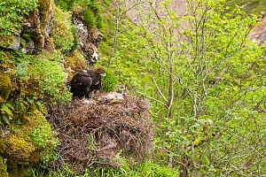 Golden eagle (Aquila chrysaetos) chick in nest after having a radio transmitter fitted for the purpose of satellite tracking the bird's movements, Cairngorms National Park, Scotland, UK, June. - SCOTLAND: The Big Picture
