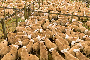 Sheep in pens at livestock auction, Scotland, UK, August. - SCOTLAND: The Big Picture