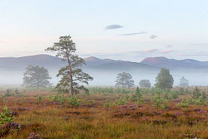 Scattered Scots pine trees (Pinus sylvstris) with the natural regeneration of saplings on Dorback Moor, Cairngorms National Park, Scotland, UK. August 2017. - SCOTLAND: The Big Picture