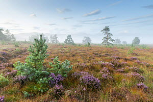 Scattered Scots pine trees (Pinus sylvestirs) and natural regeneration of saplings on Dorback Moor, Cairngorms National Park, Scotland, UK. August. - SCOTLAND: The Big Picture