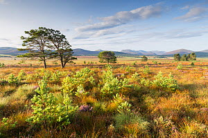Scots pine (Pinus sylvestris) saplings naturally regenerated from mature pines on moorland, Cairngorms National Park, Scotland, UK. August. - SCOTLAND: The Big Picture