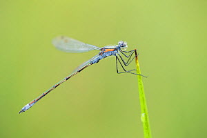 Emerald damselfly, (Lestes sponsa), mature male perched, Scotland, UK, August.  -  SCOTLAND: The Big Picture
