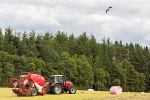 Red kite (Milvus milvus) in flight scanning for prey disturbed by tractor, Inverness-shire, Scotland, UK, July 2017. - SCOTLAND: The Big Picture