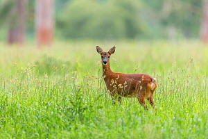Roe deer, (Capreolus capreolus) doe in grass meadow, Scotland, UK, July. - SCOTLAND: The Big Picture