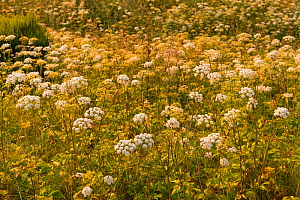 Cow parsley, (Anthriscus sylvestris), growing in unimproved meadow habitat, Scotland, UK, July. - SCOTLAND: The Big Picture