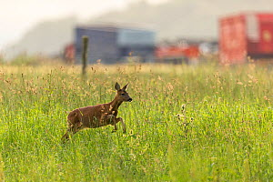 Roe deer, (Capreolus capreolus) doe in grassland habitat with farm buildings in background, Scotland, UK.July - SCOTLAND: The Big Picture