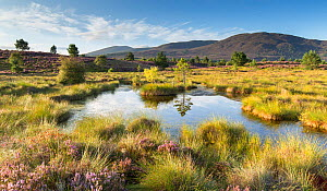 Small pool on bog moorland, Tulloch Moor, Cairngorms National Park, Scotland, UK, August.  -  SCOTLAND: The Big Picture
