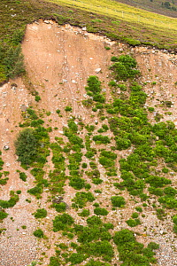Partially revegetated landslip, Glenmore, Cairngorms National Park, Scotland, UK, July. - SCOTLAND: The Big Picture