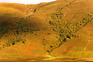 Small section of woodland growing in ravines on hillside in northwest Scotland, UK, September.  -  SCOTLAND: The Big Picture