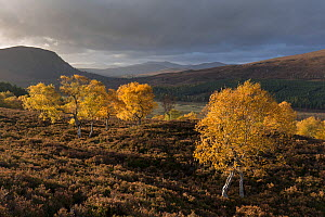 Birch (Betula pendula) trees in autumn, Morrone birkwoods, Cairngorms National Park, Scotland, UK.October - SCOTLAND: The Big Picture