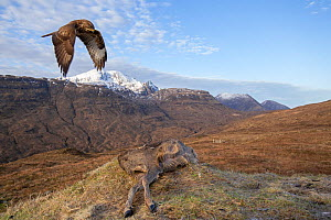 Common buzzard, (Buteo buteo) flying in to scavenge on deer carcass, Isle of Skye, Scotland, UK.January - SCOTLAND: The Big Picture