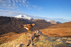 Common buzzard, (Buteo buteo), scavenging on deer carcass, Isle of Skye, Scotland, UK.January - SCOTLAND: The Big Picture