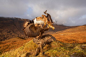 Common buzzard, (Buteo buteo), scavenging deer carcass, Isle of Skye, Scotland, UK.January - SCOTLAND: The Big Picture