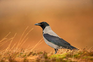 Hooded crow, (Corvus corone cornix), on ground, Scotland, UK, January.January  -  SCOTLAND: The Big Picture