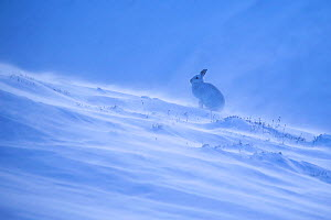 Mountain hare, (Lepus timidus), on snowy hillside in winter, Scotland, UK.February - SCOTLAND: The Big Picture