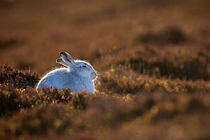 Mountain hare, (Lepus timidus), on heather moor in winter, Scotland, UK.February - SCOTLAND: The Big Picture