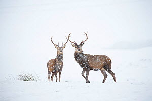 Red deer, (Cervus elaphus), two stags in falling snow on moorland, Scotland, UK.February - SCOTLAND: The Big Picture